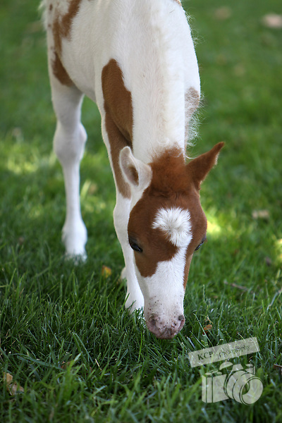 Newborn baby Miniature Horses and their mothers are photographed here while lounging around their famous Quicksilver Ranch of Santa Ynez Valley, Santa Barbara County, California, USA.