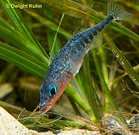 1S31-514z   Male Threespine Stickleback, Mating colors showing bright red belly and blue eyes, carrying nest material in his mouth, Gasterosteus aculeatus,  Hotel Lake British Columbia
