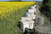Bee hives at the side of an oilseed rape field at the rate of three quarters of an acre per hive..Lancashire.