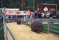 pig races, Vermont, VT, Pot Belly pigs at the Pig Races at The Tunbridge World's Fair in Tunbridge.