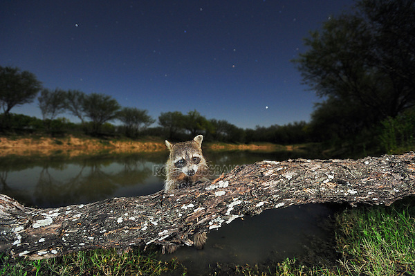 Northern Raccoon (Procyon lotor), adult at night on log, Laredo, Webb County, South Texas, USA
