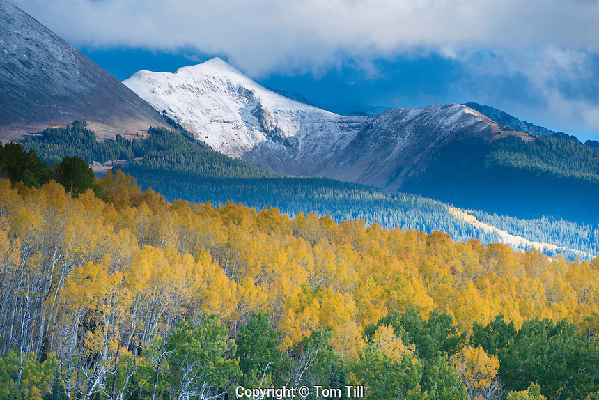 Aspen and snow-capped peaks, La Sal Mountains, Utah Manti-La Sal National Forest, new Moab,  Populis tremulodies