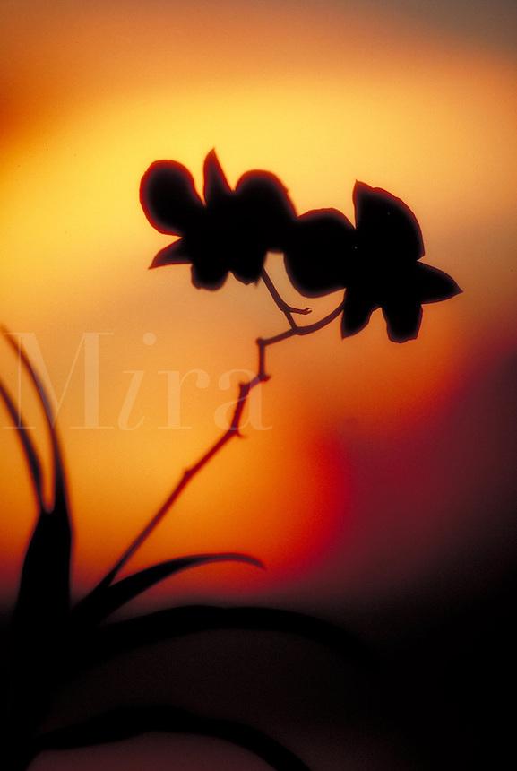 Tropical flower at sunset, Virgin Islands, Caribbean.