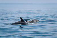 Atlantic white-sided dolphin, Lagenorhynchus acutus, and calf, off Long Island, Digby Neck, Bay of Fundy, Nova Scotia, Canada ( North Atlantic Ocean )