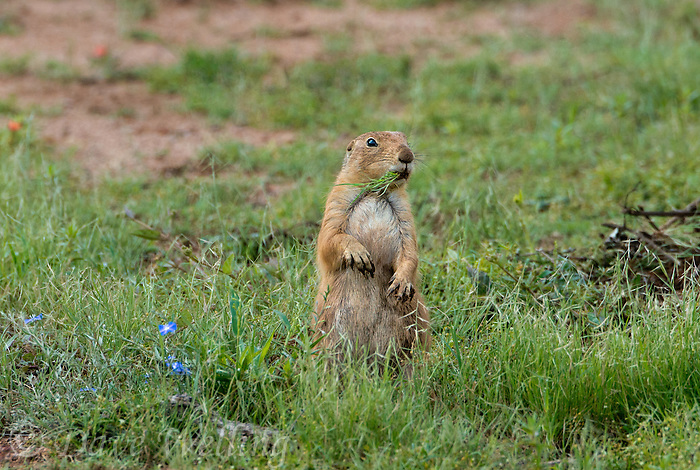 673010021 a wild black-tailed prairie dog cynomis ludovicianus in a small prairie dog town on empire ceienega natural conservation area pima county arizona