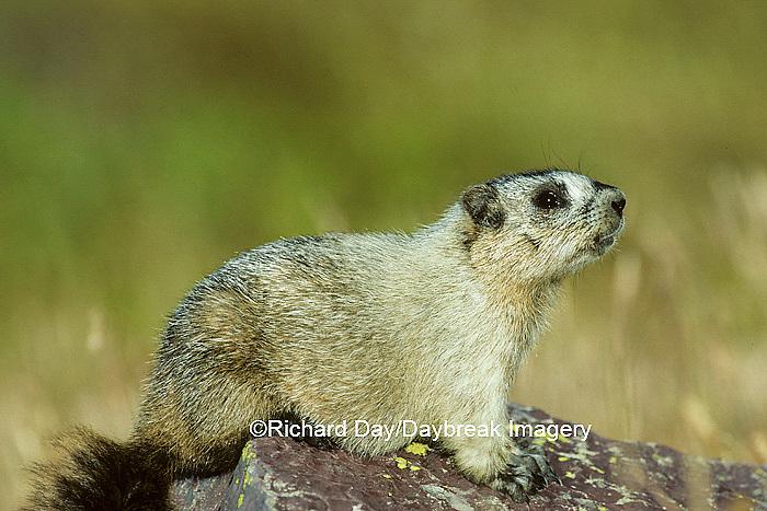 02003-00103 Hoary Marmot (Marmota caligata) Glacier NP   MT