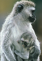 660377006a a very young vervet monkey cercopithecus aethiops clings to its mother in ngorogoro crater national park in tanzania