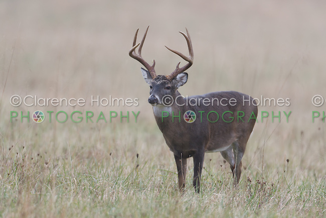 White-tailed Deer (Odocoileus virginianus) buck during the fall rut