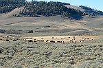 Bison in the Lamar Valley, Yellowstone National Park.American Buffalo, (bison bison)