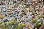 Anza-Borrego Desert State Park: Eight male desert bighorn sheep blend in on a rocky hillside in spring