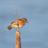 Saxicola rubicola<br />