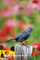 01392-03203 Gray Catbird (Dumetella carolinensis) on fence post near flower garden, Marion Co. IL