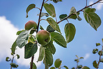 Closeup of apples on a tree branch over blue sky. Ontario, Canada.
