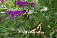 03017-01312 Giant Swallowtail butterflies (Papilio cresphontes) male and female at Butterfly Bush (Buddleia davidii),  Marion Co., IL