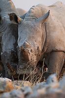 Low angle Rhino portrait