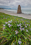 Cape Blanco State Park, OR: Douglas iris (Iris douglasiana) blooming on a hillside with Needle Rock on the beach below.