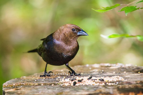 A Bird, The Brown Headed Cowbird In Profile Pose, Molothrus ater