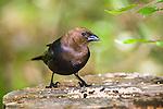 A Bird, The Brown Headed Cowbird In Profile Pose, Molothrus ater