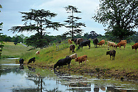 Beef cattle on the banks of a river, near Evesham, Worcestershire...Copyright..John Eveson, Dinkling Green Farm, Whitewell, Clitheroe, Lancashire. BB7 3BN.01995 61280. 07973 482705.j.r.eveson@btinternet.com.www.johneveson.com