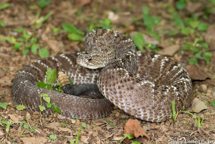 Uracoan Rattle Snake, Crotalus durissus vegrandis, found only in Venezuela in South America, defensive, aggressive pose, striking, noise, noisy, venemous, poisonous