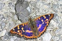 Kleiner Schillerfalter, Espen-Schillerfalter, Apatura ilia, Apatura barcina, Lesser Purple Emperor, Le Petit Mars changeant, Edelfalter, Nymphalidae