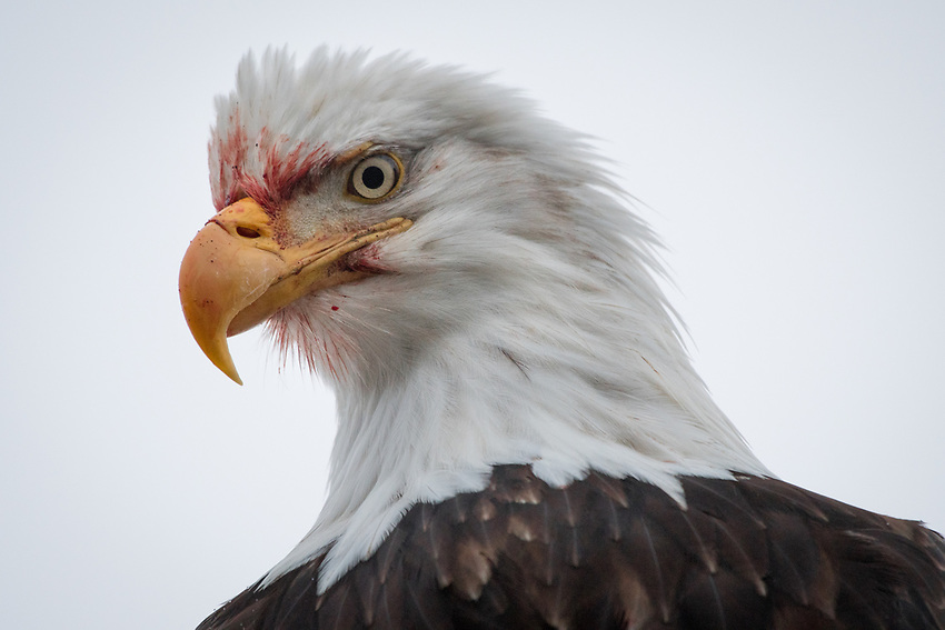Bald Eagle, Homer, Alaska. Photo by James R. Evans.