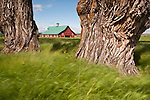 Red wooden barn with green roof, budding cottonwood trees, Wallowa County, Ore.