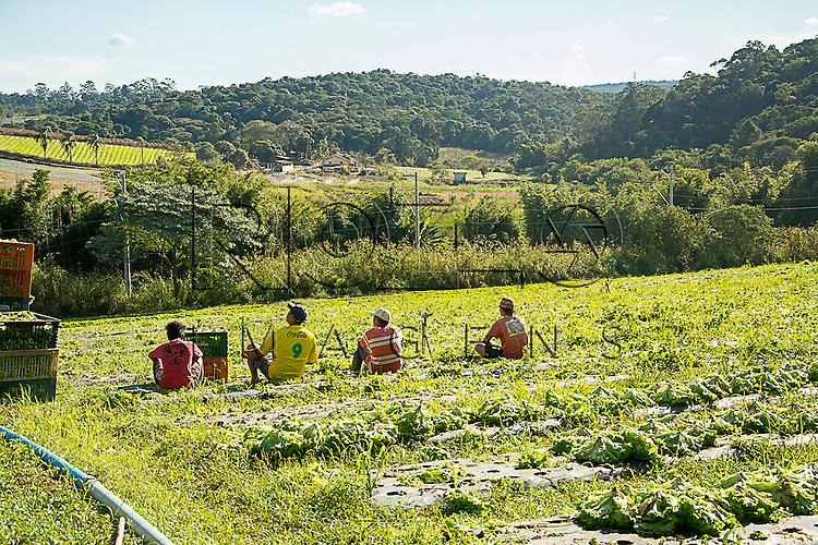 Plantação de alface, Cotia - SP, 06/2015.
