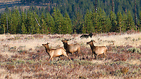 Black Yellowstone Wolf chasing elk in Yellowstone National Park