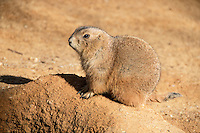 Prairie Dog photographed up close.<br /> Prairie dogs (genus Cynomys) are herbivorous burrowing rodents native to the grasslands of North America. The five species are: black-tailed, white-tailed, Gunnison's, Utah, and Mexican prairie dogs. They are a type of ground squirrel, found in the United States, Canada and Mexico.