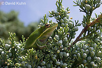 0605-0918  American Green Treefrog Climbing Tree at Outer Banks North Carolina, Hyla cinerea  © David Kuhn/Dwight Kuhn Photography