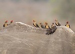 """Pictured: A choir of oxpeckers look to be belting out a song perched ontop of a rock - which later turns out to be a rhino! The pitch-perfect animals were spotted by photographer Christine Hadfield on a recent trip to the Kruger National Park in South Africa. <br /> <br /> Christine Hadfield said """"Rhinos benefit from having oxpeckers perched on them and usually tolerate them well, as the birds help rid them of ticks and other insects. This particular rhino had quite a lot on it!""""<br /> <br /> The wedding and wildlife photographer based in Manfield, UK said """"With their beaks open it makes the oxpeckers look like a little choir all singing together.""""<br /> <br /> """"Rhinos are experiencing a bad time with poaching so its wonderful to see one that is safe and living the life they should in the wild.""""   <br /> <br /> Please byline: Christine Hadfield/Solent News<br /> <br /> © Christine Hadfield/Solent News & Photo Agency<br /> UK +44 (0) 2380 458800"""
