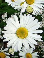 Daisies exude their happiness in Cooper Landing, Alaska.
