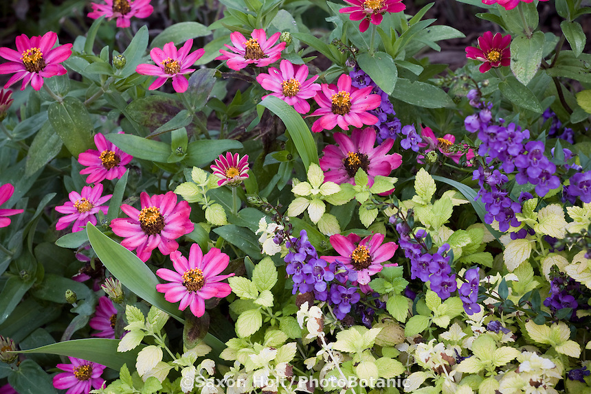 Zinnia 'Profusion Cherry' (pink magenta annual flower), Melissa 'All Gold', and blue flower Angelonia in garden border