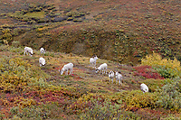 Flock of dall sheep rams feed on vegetation in the brightly colored autumn tundra near Polychrome pass in Denali National Park, Alaska.