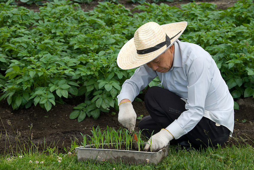 A Japanese man in straw hat and gloves uses a trowell to transplant corn seedlings to the edge of his potato field, Okaya, Nagano, Japan, May 30 2008