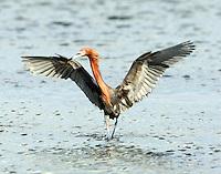 Adult intermediate color phase reddish egret chasing fish.
