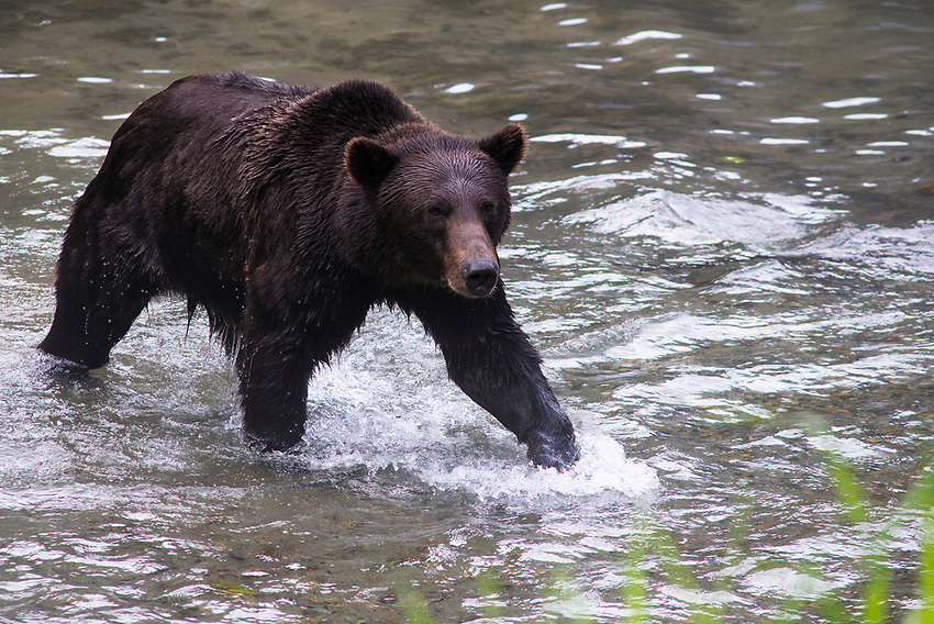 Grizzly at Fish Creek, Hyder, Alaska.