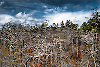 Skeletal dwarf cypress trees in early spring in Tate's Hell State Forest near Carrabelle, Florida.