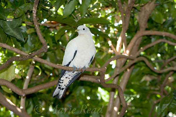 Pied (=Torresian) Imperial-Pigeon (Ducula bicolor), captive, Port Douglas, Queensland, Australia