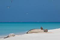 Hawaiian monk seals, Neomonachus schauinslandi, Critically Endangered endemic species, Sand Island, Midway, Atoll, Midway Atoll National Wildlife Refuge, Papahanaumokuakea Marine National Monument, Northwest Hawaiian Islands ( Central North Pacific Ocean )