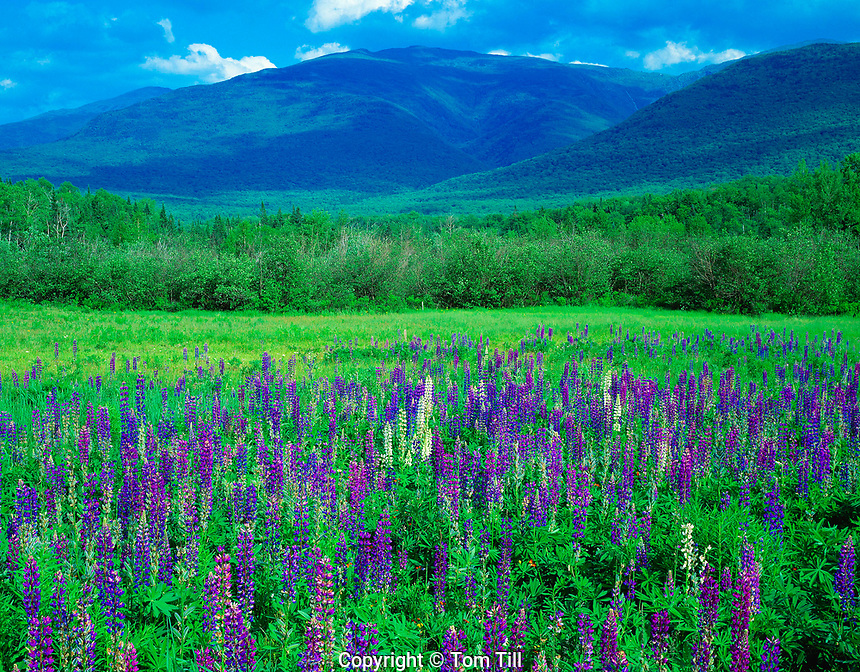 Wild Lupine, Great Gulf Wilderness, New Hampshire     White Mountains Presedential Range  June White  Mountains National Forest Lupinus perennis