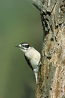 597920005 a wild male hairy woodpecker picoides villosa perches on a large tree stump near lipscomb in the texas panhandle