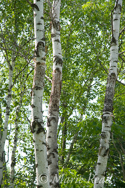 Paper Birches showing evidence of Yellow-bellied Sapsucker (Sphyrapicus varius) drillings, Millersburg, Michigan, USA
