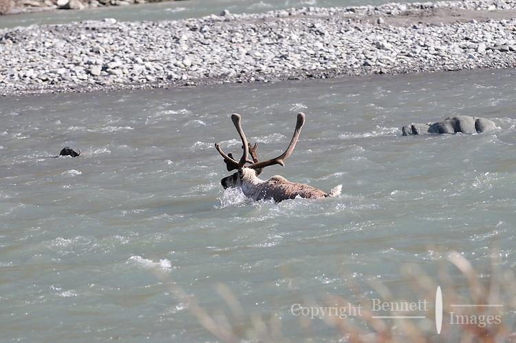 A caribou swims across the Kongakut River, in Alaska's Arctic National Wildlife Refuge.