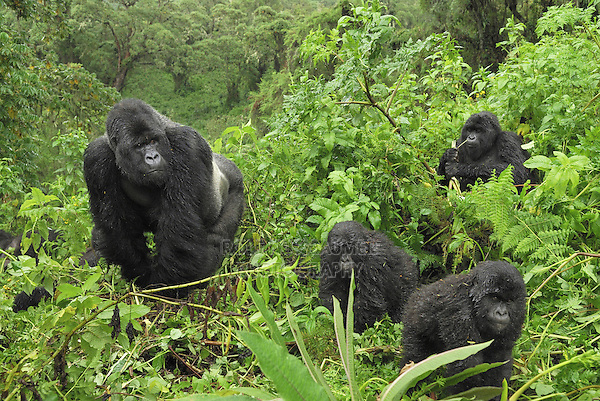 Mountain Gorilla (Gorilla beringei beringei), group, Volcanoes National Park, Rwanda