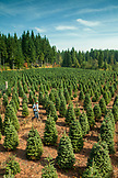 USA, Oregon, Corbett, Trout Creek Tree Farm, owner Tom Norby on his 80 acre Noble fir Christmas tree farm which is nestled in the foothills near Mt. Hood