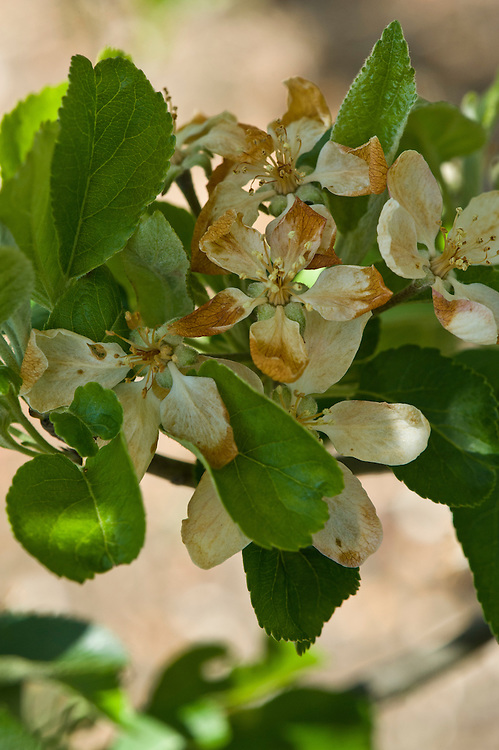 Apple blossom damaged by late spring frost, mid May.