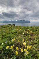 Coastal paintbrush blossoms at the Aleutians world war II national historic area, Mt. Ballyhoo, Amaknak Island, Dutch Harbor, Aleutian Islands.