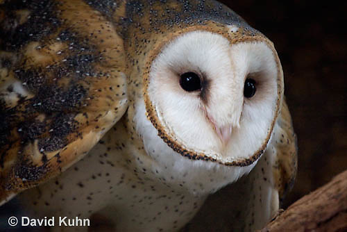 0507-0902  Barn Owl, Tyto alba  © David Kuhn/Dwight Kuhn Photography